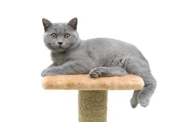 kitten breed Scottish Straight on white background