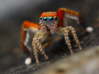 Spanish jumping spider Saitis barbipes