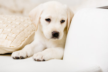 Close up of sad white Labrador puppy lying on the pillow