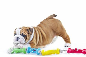 Cute english bulldog dog puppy with a toy