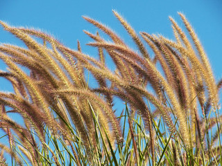 Flower grass background ,Pennisetum pedicellatum Trin