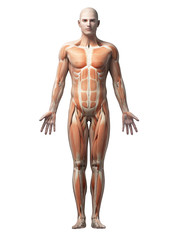 male anatomy illustration - the muscles