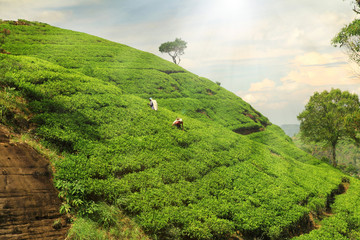 Wall Mural - tea plantation hills
