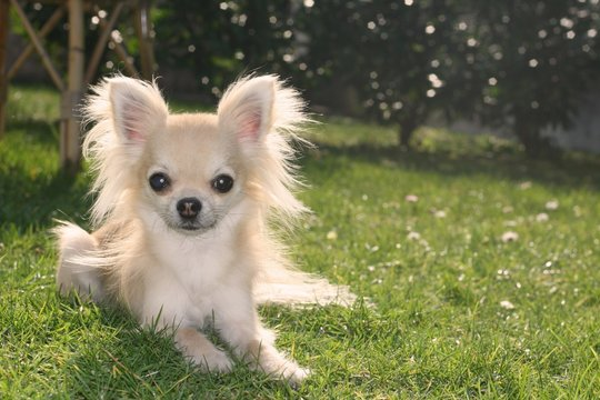 Longhair chihuahua lying and relaxing in a garden