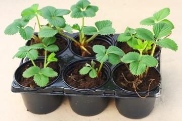 Young elsanta garden strawberry plant (Fragaria)
