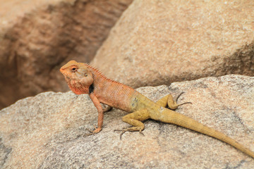 Blue lizard, brown Lizard, asian lizard or tree lizard
