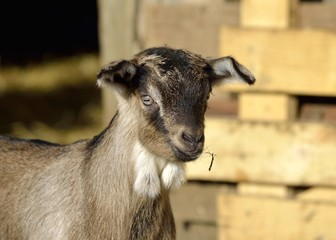 Portrait of a brown young goat (goatling)