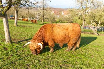Schottisches Hochlandrind auf der Weide