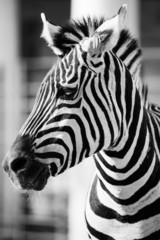 Zebra, Serengeti National Park, Tanzania, East Africa