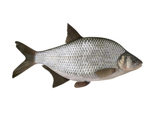 Bream. Isolated on the white background