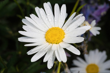 A really amazing unreal camomile