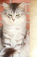 silver cat of siberian breed, female