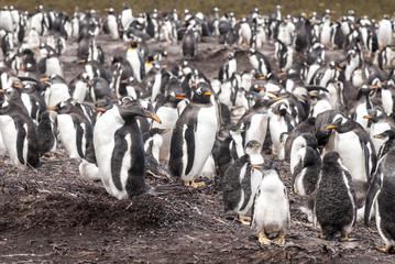 Gentoo Penguin Colony After Rain