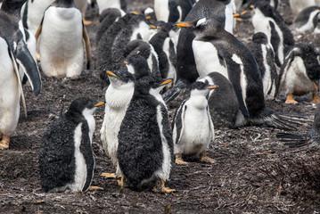 Falkland Islands - Gentoo Penguins chicks after rain