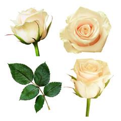 Set of white rose flowers