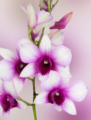Garden Poster Orchid Dendrobium phalaenopsis hybrid orchid