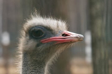 Close-up of an ostrich head in profile