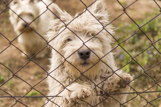 West Highland Terrier Dogs.