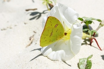 Cloudless Sulphur on a White Blossom