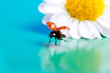 Flying ladybug and camomile flower.