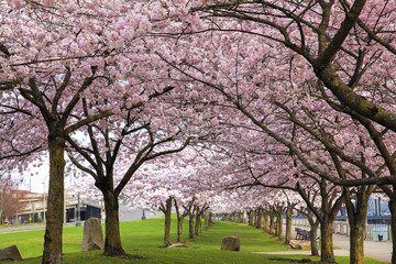 Rows of Cherry Blossom Trees in Bloom