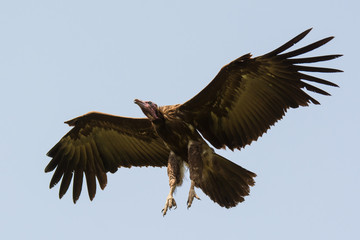 Hooded Vulture with legs out ready for landing