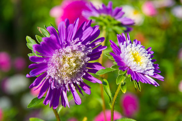 beautiful aster flowers, on green background