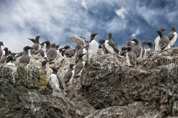 Gannet Birds hanging on a rock