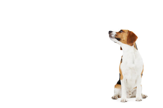Studio Portrait Of Beagle Dog Against White Background