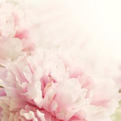 Defocus Closeup of peony flower