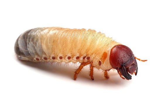 Larva of beetle isolated on white