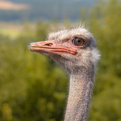 Head of an African Ostrich in Natural Environment