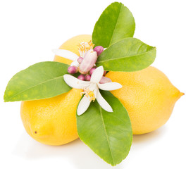 Lemons and blossom