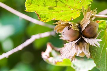 Fresh hazelnuts on tree