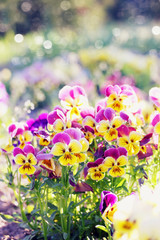 bush blooming pansies