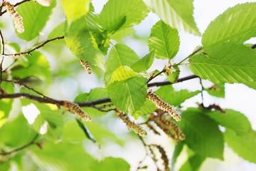 spring foliage on alder