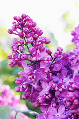 Blossoming branch of lilac