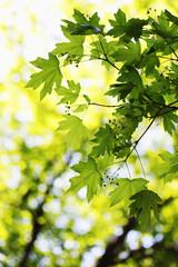 foliage on maple