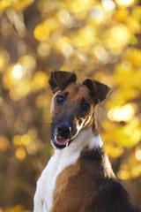 foxterrier dog