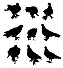 Pigeon-vector