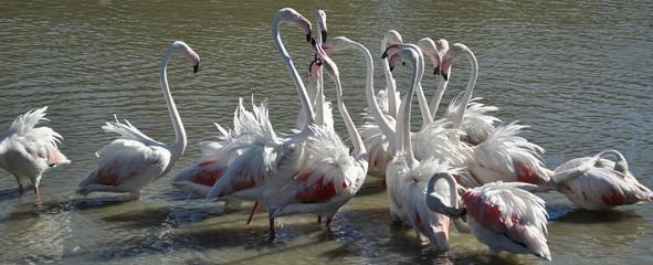 Fenicotteri in Camargue