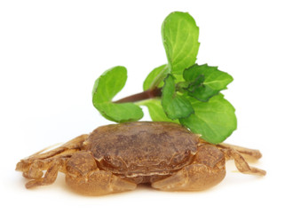 Crab with green mint leaves