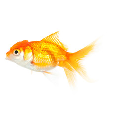 Close up of swimming orange fish, isolated on white