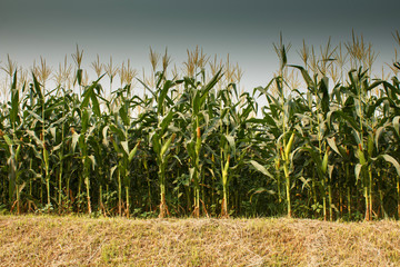 corn cob on a field in summer