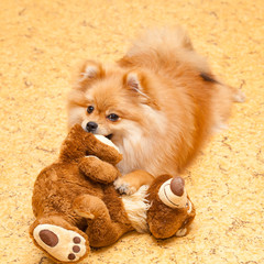 Spitz puppy dog holding a teddy bear in his mouth