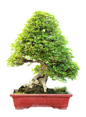 The azalea bonsai tree in a pot isolated on white background.