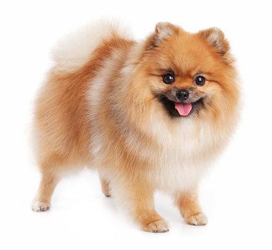 Cute little Pomeranian red color