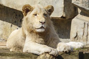 Poster Parrot Witte leeuwin
