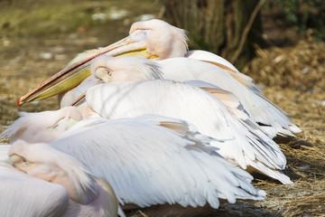 Poster Parrot Slapende pelikanen