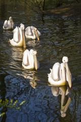 Poster Parrot zwemmende pelikanen